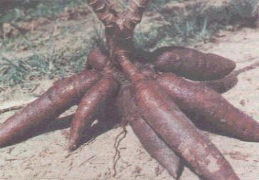 Gambar 1. Singkong